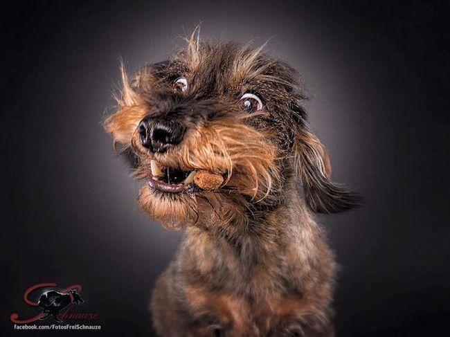 Забавные фотографии собак, ловящих лакомства (16)