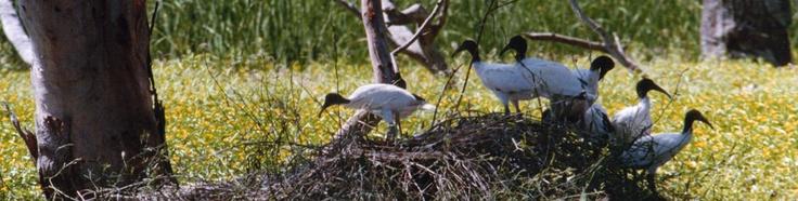 Macquarie Marshes. Amazing bird life