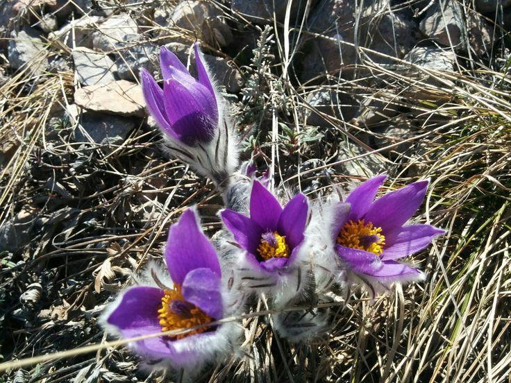 8 марта в горном Крыму, Чатырдаг, мартовские крымские первоцветы, редкие растения Крыма, крокусы, сон-трава