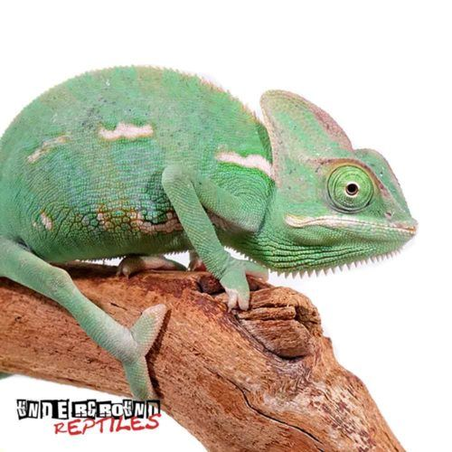 6 to 8 inch Veiled Chameleons For Sale - Underground Reptiles