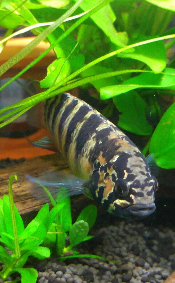 Freshwater aquarium fish massachusetts - Summary Ornamental Fish Aquaria Are Always An Attractive Add To Your Decoration Design Moreover Fish Are Marvelous Pets That Are Liked By Many