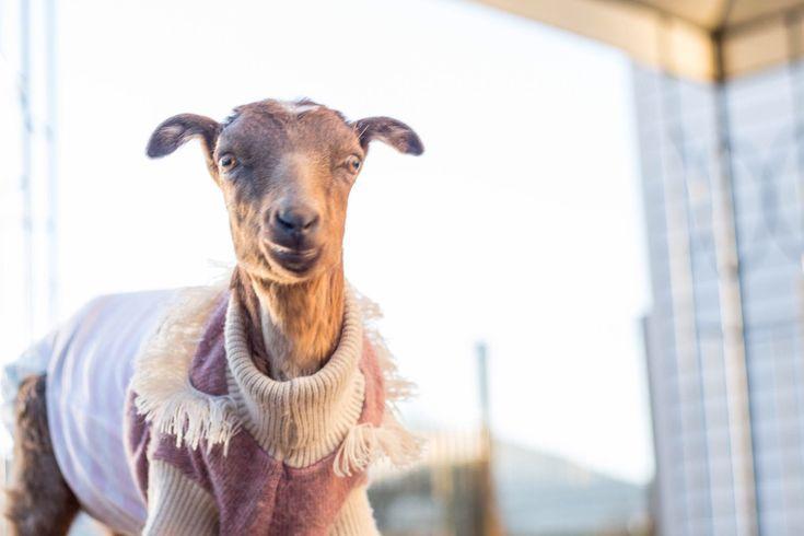 Emma deja la zona de cuidados especiales para unirse al grupo de cabras bebé  https://t.co/cL2ILeQtDW