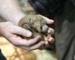 See a rare echidna puggle. Born at the Perth Zoo. It's a prickly mammal. New baby named Kai.