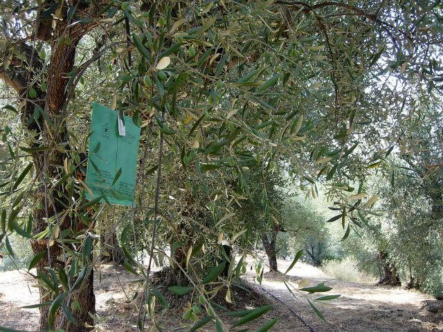 #MoscaOlearia #MoscaOlivo Un'interessante discussione sulla lotta biologica e integrata alla mosca dell'olivo