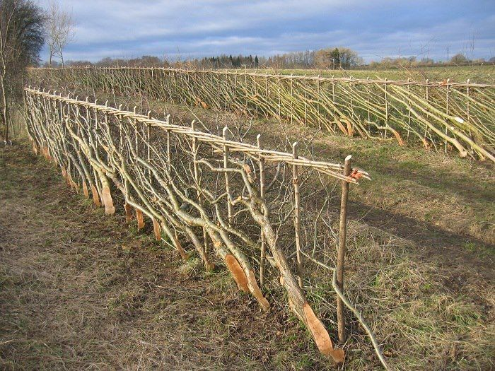 """Laying a hedge"" is the 2,000+ year-old method of chain link fencing, except the fence is alive. Some hedges alive today in the UK were laid before the Dark Ages! ""A living hedge not only keeps livestock fenced but also prevents soil erosion and water runoff. Living hedges are good wind blocks and snow collectors as well as habitat to birds, insects and small mammals. "" The photo shown is a freshly laid hedge."