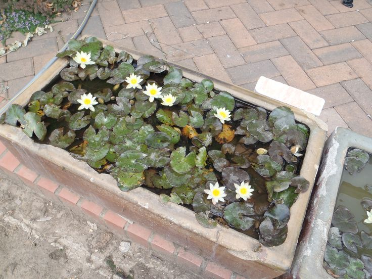Nymphaea Pygmaea Helvola - miniature water lilies, I grow them in an old cattle trough