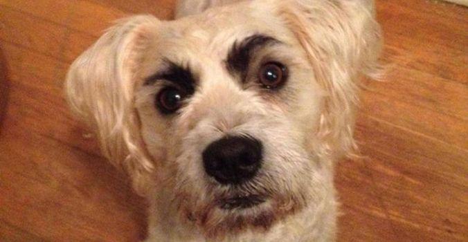 Des maîtres ont eu l'idée de dessiner de jolis sourcils à leurs toutous, voici le top 5 des sourcils de chiens les mieux réussis ! #Chien #Sourcils #Top5