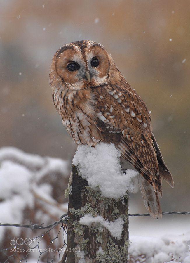 Tawny Owl - Pinned by Mak Khalaf Animals animalanimalsaviemorebirdbird of preyenglandowlscotlandtawny owlukwildwildlifewinter by RonaldCoulter