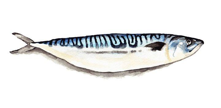 Mackeral Watercolour Painting By Katrina Sophia
