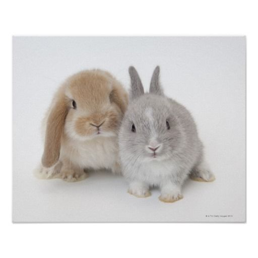 Two Netherland Dwarf and Holland Lop bunnies Posters