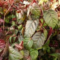 Hortensia - Hydrangea grimpant Winter Surprise