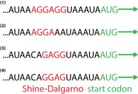shine dalgarno sequence example - Google Search