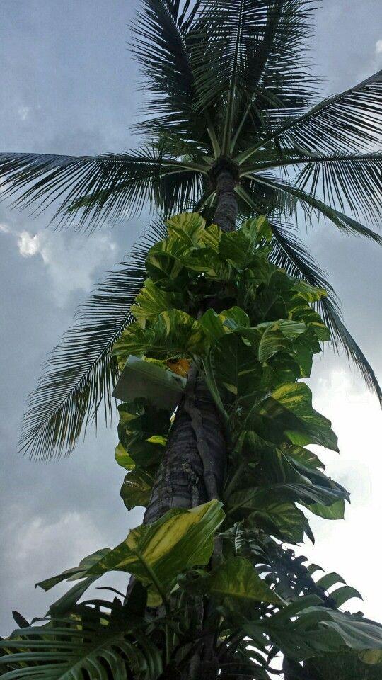 Koh samui palmtree