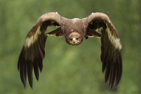 aigle royal vol