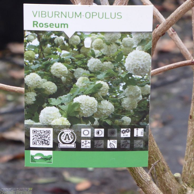 Buy Large Viburnum Opulus Roseum 10 Litre - Charellagardens