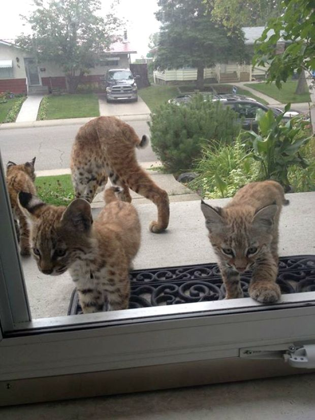 https://www.iizcat.com/post/3685/Baby-bobcats-make-adorable-surprise-visit-to-Calgary-home-Gallery-
