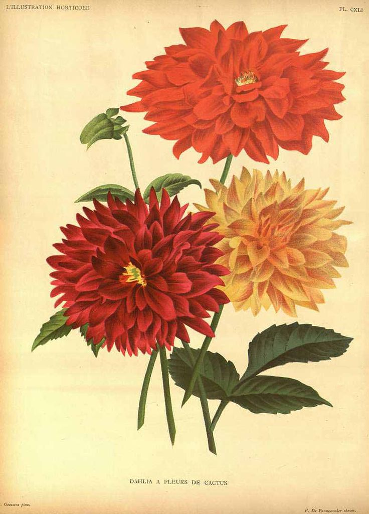 172 best dahlia images on Pinterest | Dahlia, Dahlias and ...
