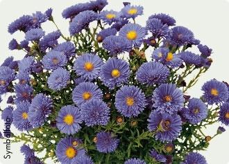 Herbstaster  #bellaflora  #flower  #plant  #pflanze