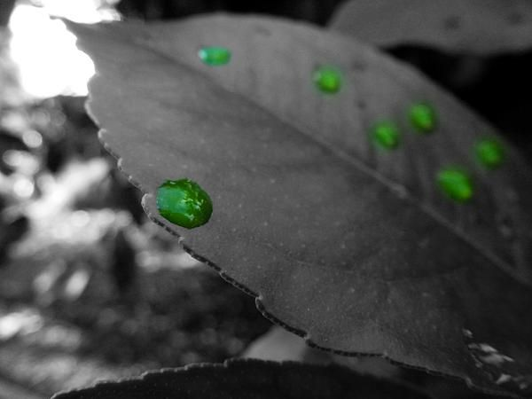 A close up shot of a leaf with rain droplets on. Only the rain water itself is in colo(u)r. Photo taken in California. Want this picture printed on canvas or cards etc? Click on the image :)