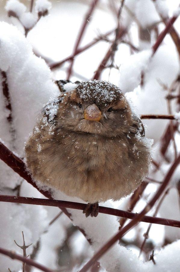 puffy cold bird