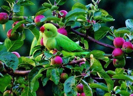 Parrot In Fruit Tree
