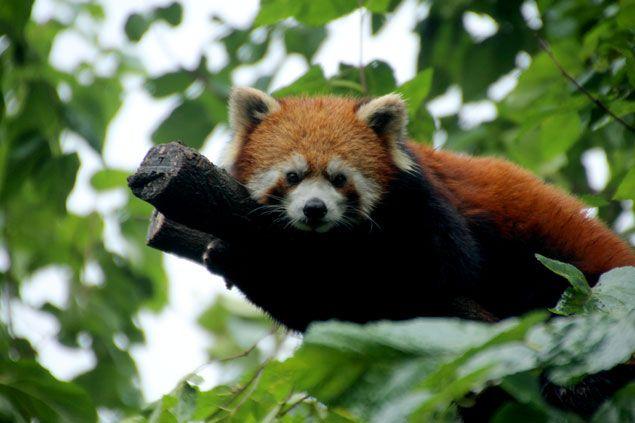 Los osos panda rojos , son parte importante de la fauna china
