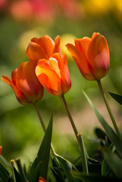 orange tulips on Flickr.