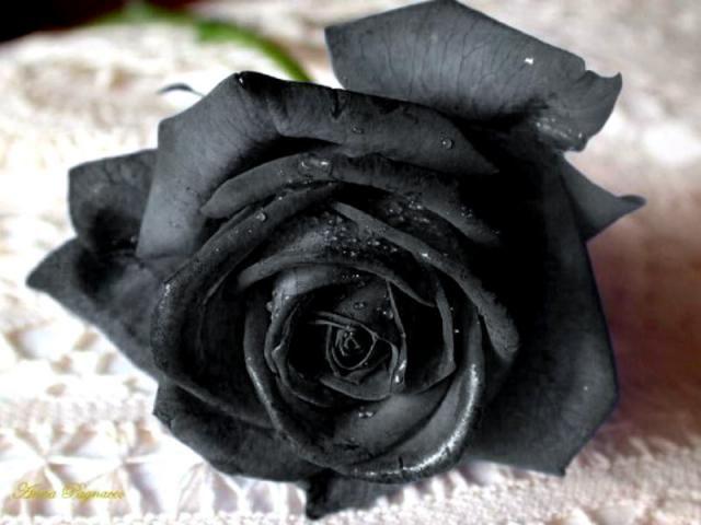 Черные розы.