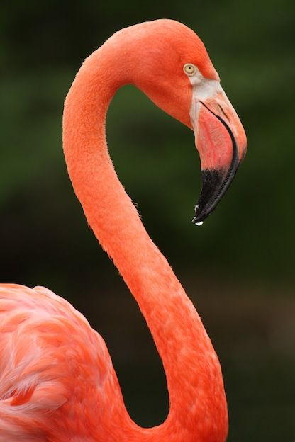 American Flamingo - Flamingo Facts and Information