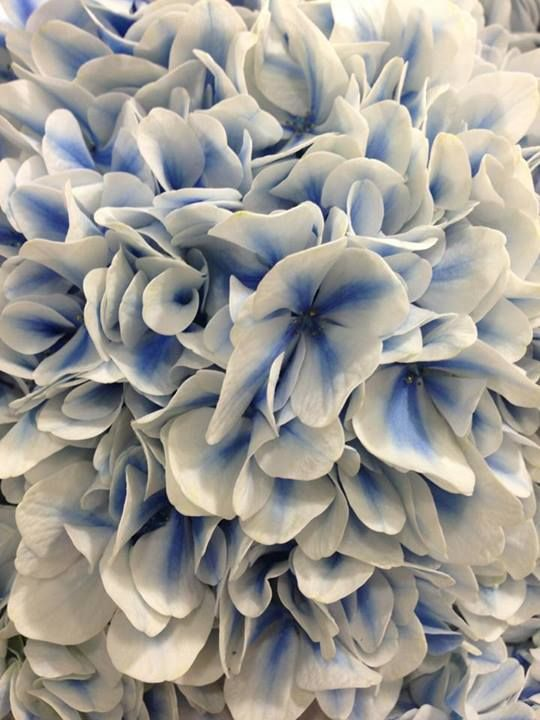 Blue and white hydrangea...love these!  I love hydrangeas and I love blue and white. Never seen these before!!!