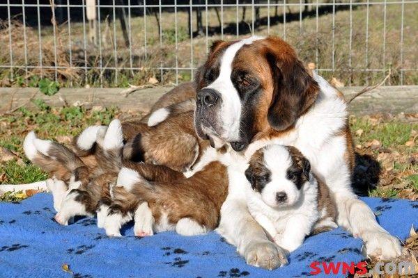 Saint Bernard gives birth to ten puppies in one litter