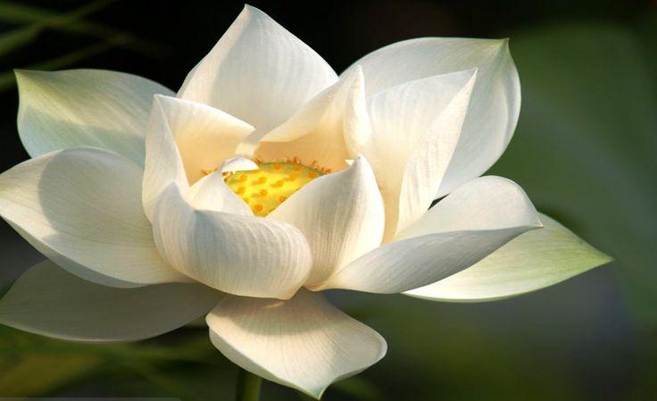Gambar Bunga Teratai Putih Yang Menawan