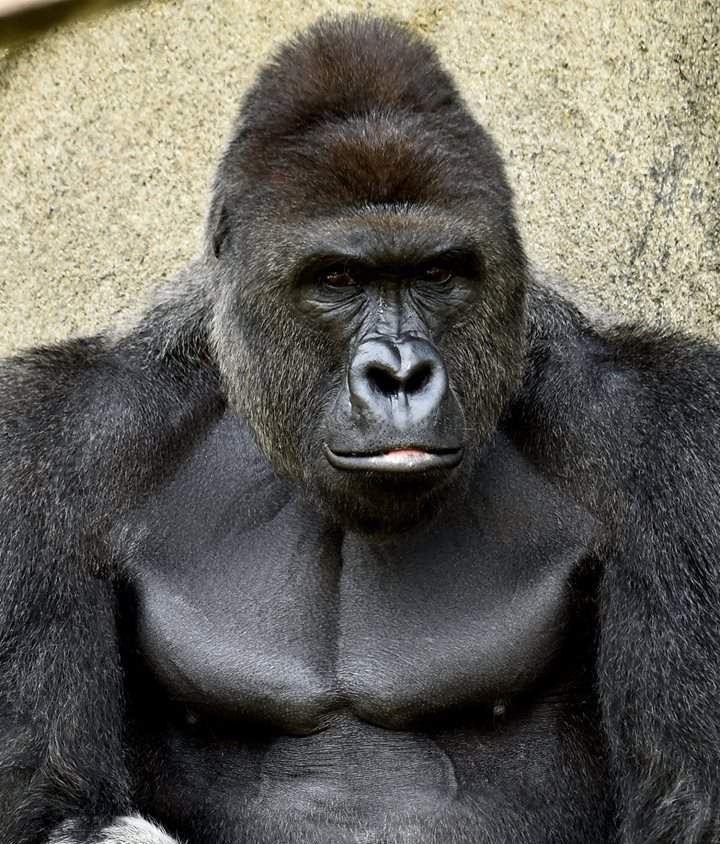 Share Tweet Plus Pin LinkedIn Reddit StumbleUpon Digg Email Print This weekend, our culture's worship of animals and its cruel indifference to children finally came crashing together when a 4 year old child fell into the gorilla exhibit at the zoo in Cincinnati. Zoo officials  Continue reading →