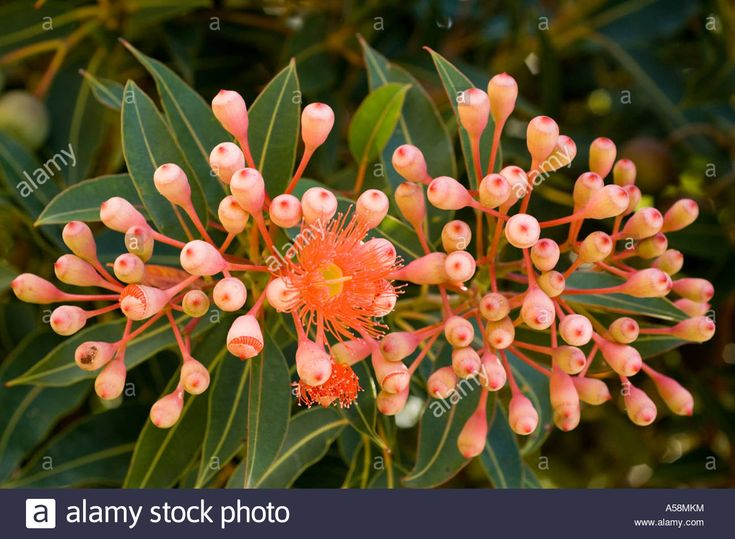 Red-flowering Eucalyptus (corymbia Ficifolia) Flowers And Buds ...