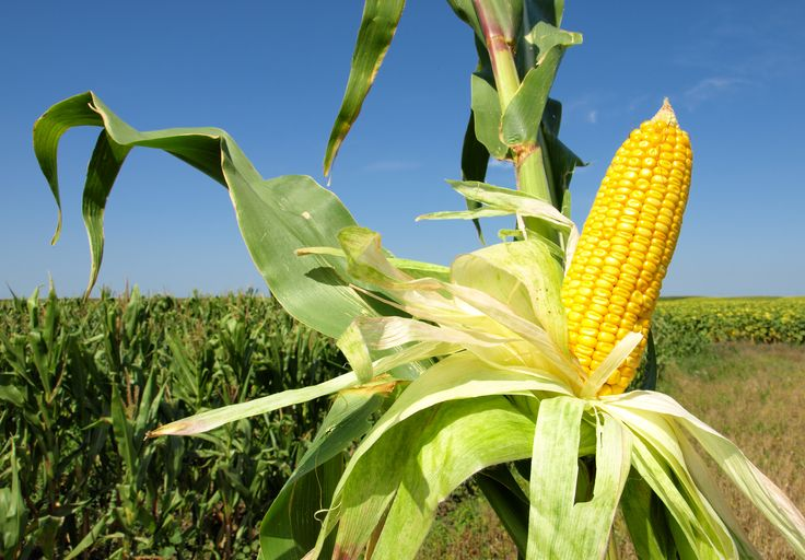 Corn- maíz