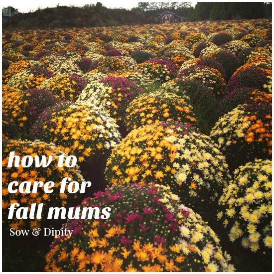 How to Care for #fall #mums -