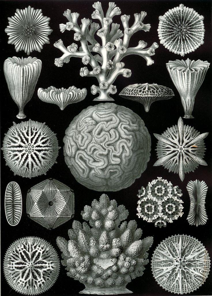 9. Hexacoralla - Ernst Haeckel (1904)