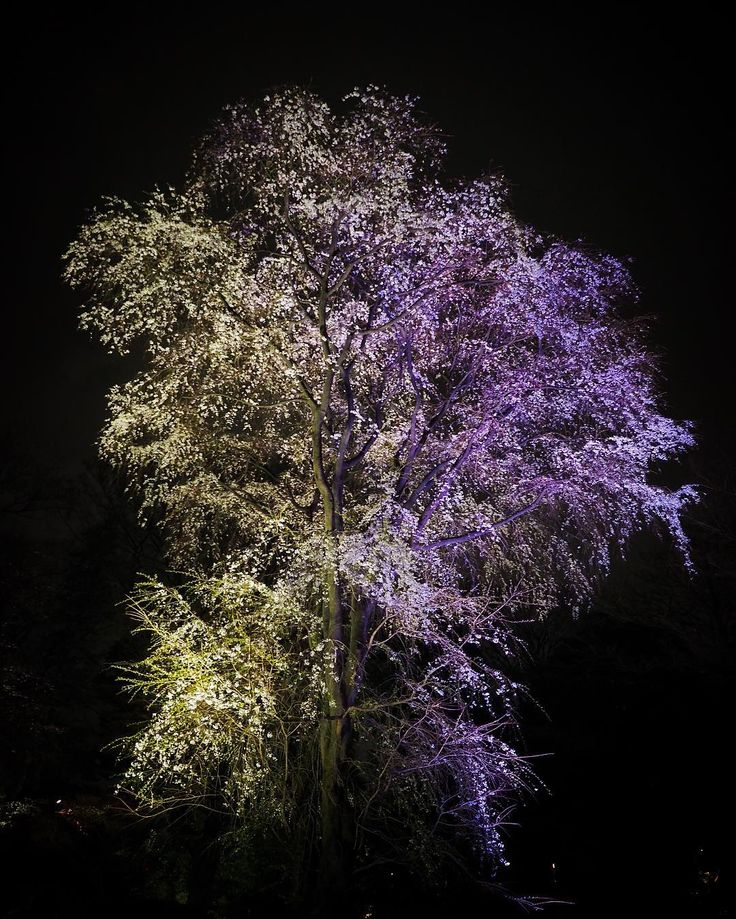 なんか怖いね#六義園 #ライトアップ #桜 #サクラ by kenzizi