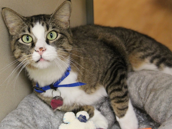Zammes Is A 4 Year Old Domestic Shorthair This Friendly Guy