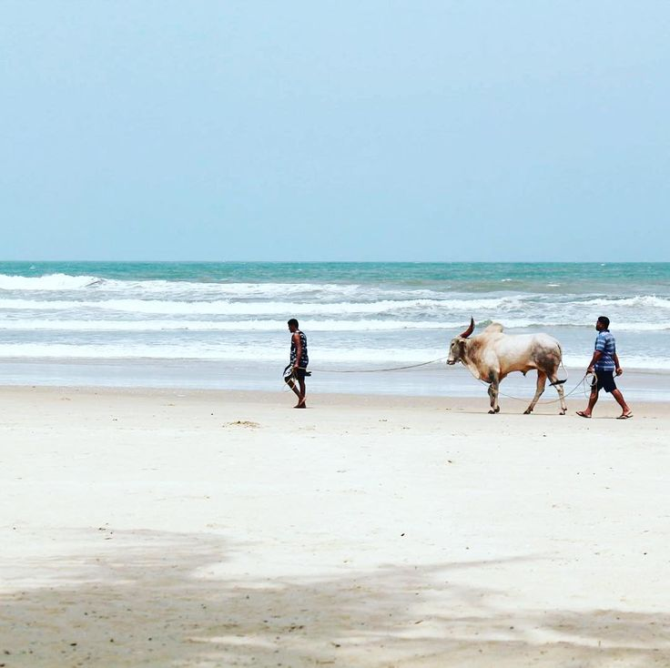 Can see this only in India   #cow #beach #goa #india #travel #discover