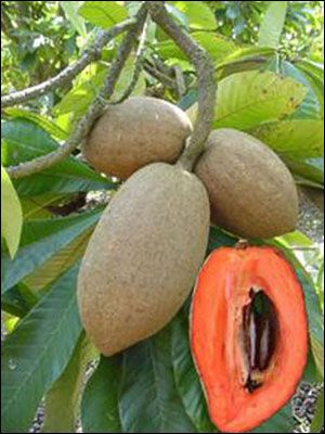 Sapote; Cotton Candy Sweet