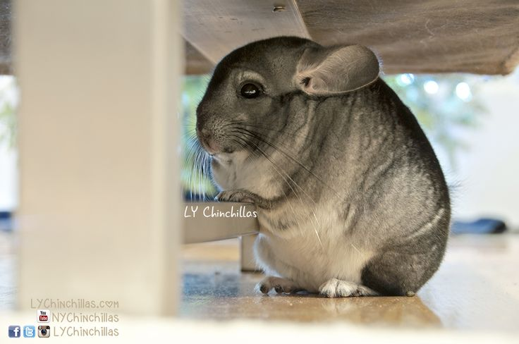 How To Bond With Your Chinchilla