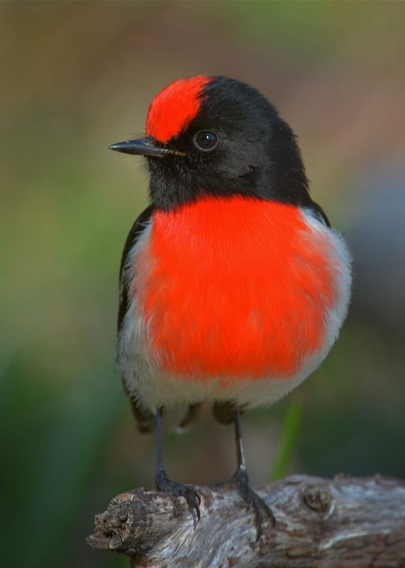 ☀Red-capped Robin, male,  native to Australia by David Jenkins*