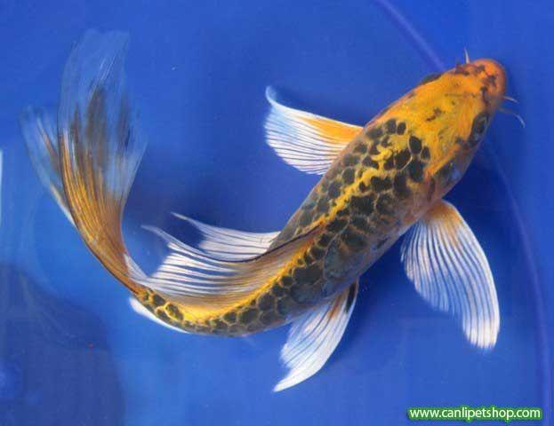Canlipetshop akvaryum bal k ve akvaryum bal k e itleri for Real koi fish