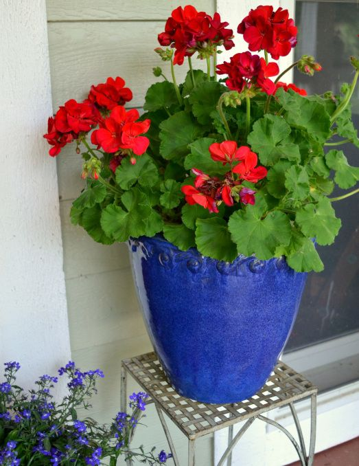 Red geraniums in blue ceramic pots                                                                                                                                                     More