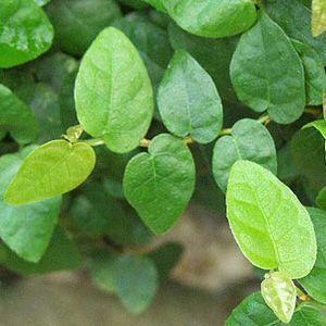 Фикус карликовый / Ficus pumila. Сорта