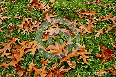 Autumn leaves , covering the green grass.