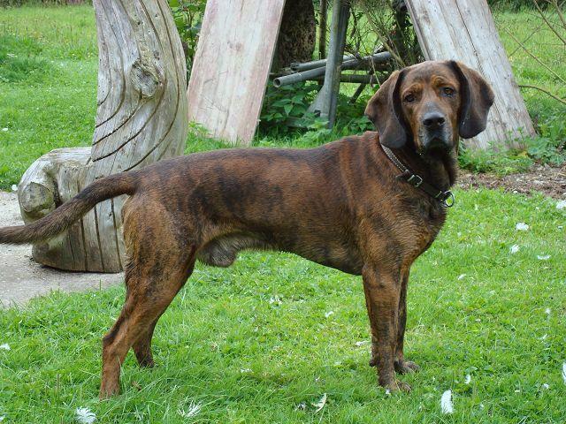 Schwarzwälder Schweißhund   Origin: Germany