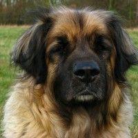 #dogalize Razze cane: il cane Leonberger carattere e prezzo #dogs #cats #pets