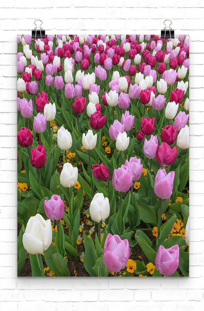 Red, purple and white tulips by Tim Abeln Photography and Digital Art Prints. Beautiful wall decoration for your home and office. Every year the flower fields in the Netherlands are turned into a colorful spectacle. You can brighten up your livingroom with these beautiful colors. #interiordesign #flowers #art #posters #canvas #shopping #giftideas #homedecor